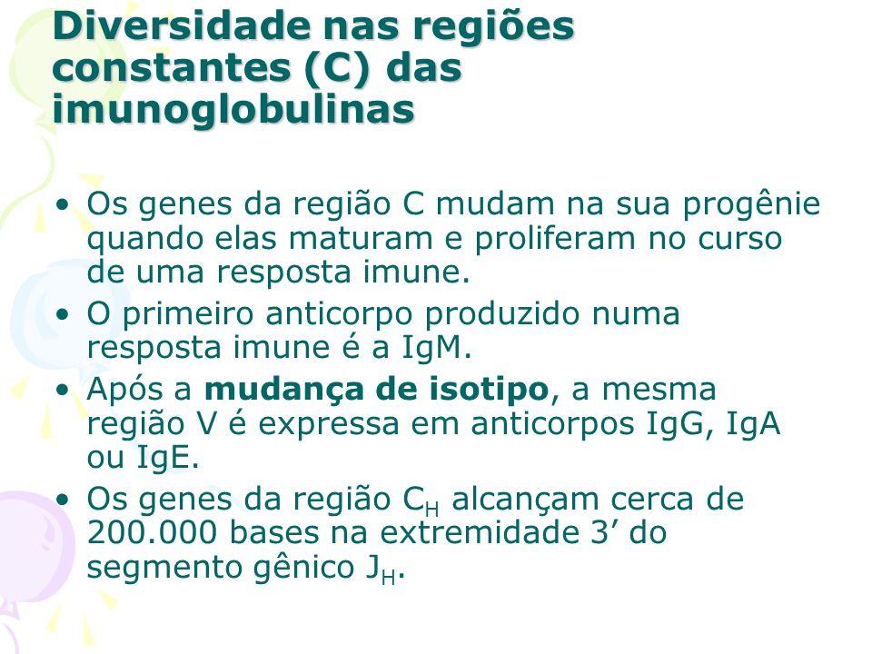 O gene da região C que codifica as cadeias está próximo aos segmentos gênicos J H ; Imediatamente à extremidade 3 do gene, localiza-se o gene.
