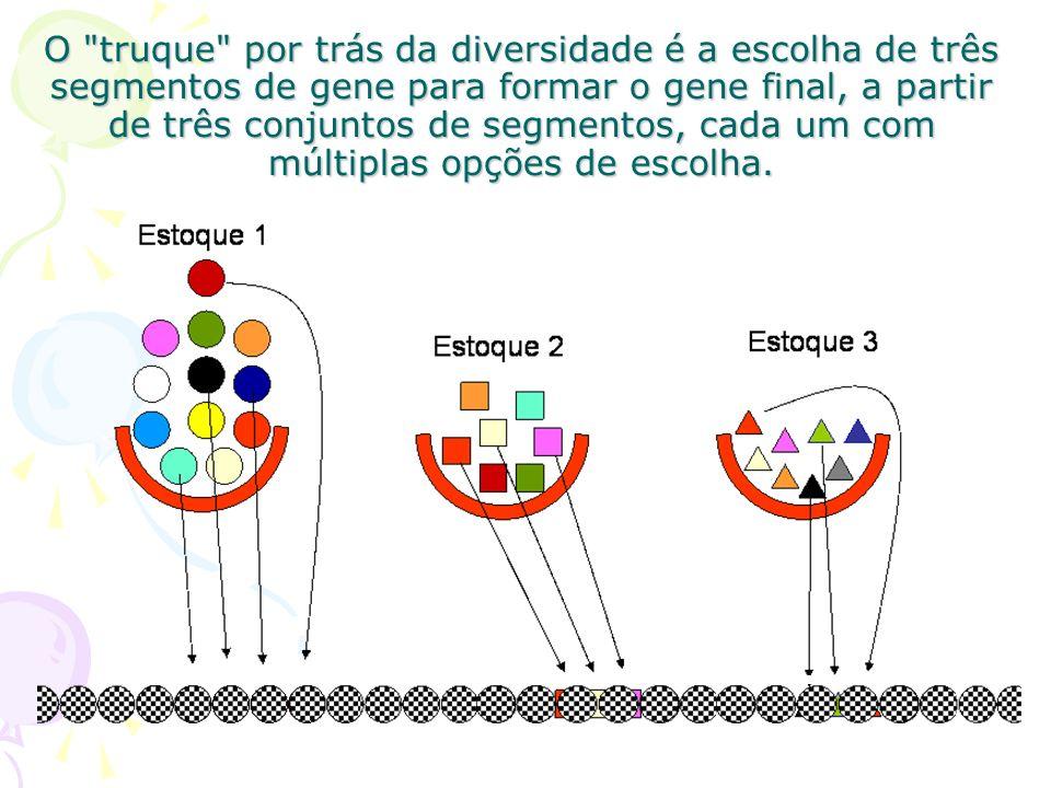 O locus responsável pela codificação das regiões variáveis das cadeias leves e pesadas de anticorpos possuem diversos segmentos gênicos, agrupados em regiões denominadas V (variável) e J (junção) na cadeia leve e V, D (diversidade) e J na cadeia pesada