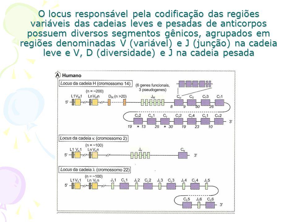 Cada segmento gênico possui subdivisões, ou seja, regiões que são escolhidas ao acaso em cada segmento na montagem do gene final que vai codificar as cadeias leves e pesadas A região variável é codificada por mais de um segmento gênico.