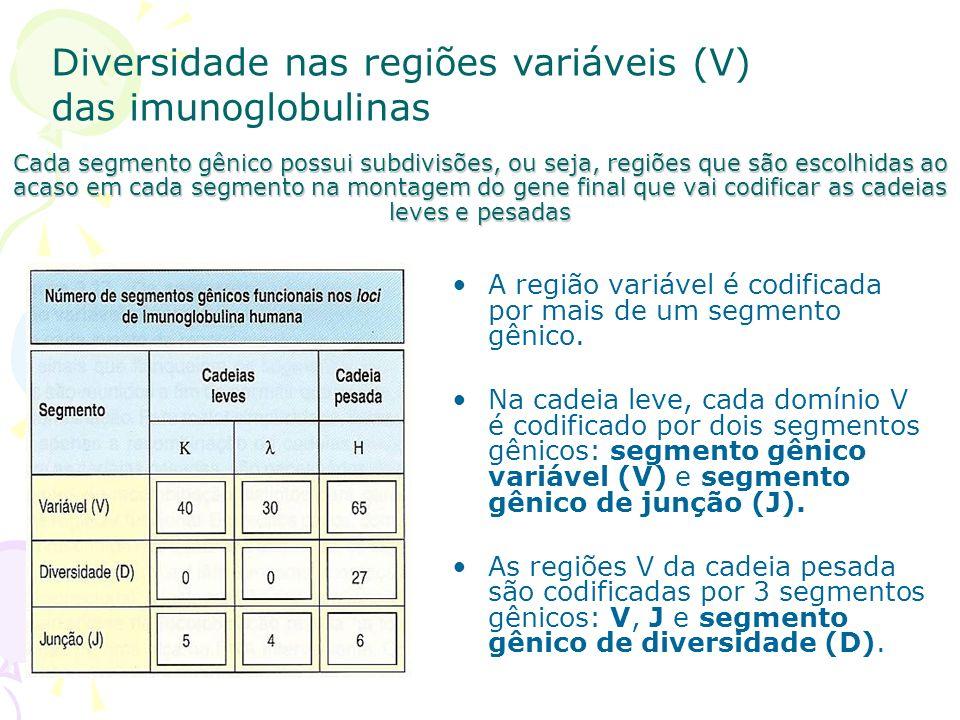 Esquema representativo do lócus da cadeia pesada da Ig e da forma como a escolha dos segmentos V.D e J determina o idiotipo da imunoglobulina.