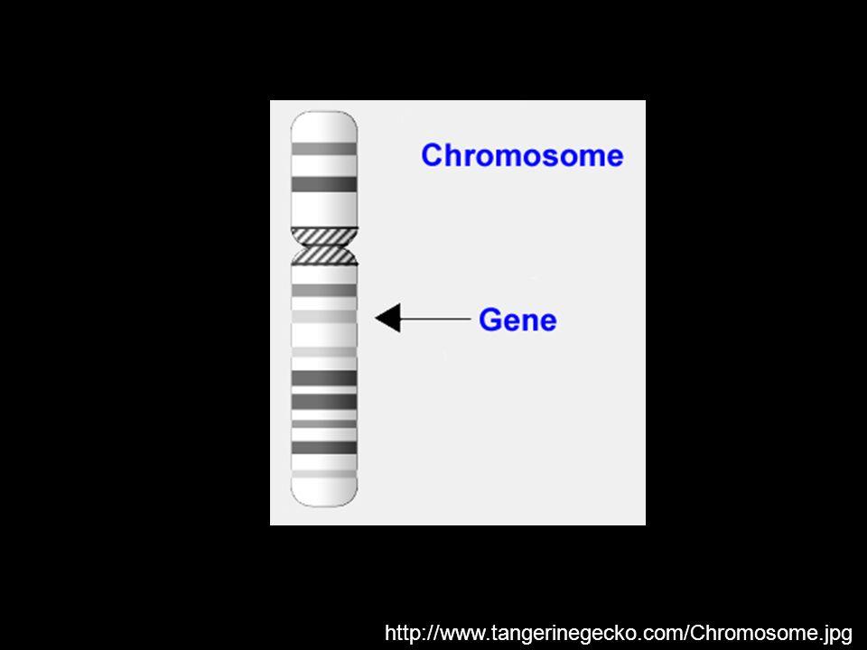 http://www.tangerinegecko.com/Chromosome.jpg