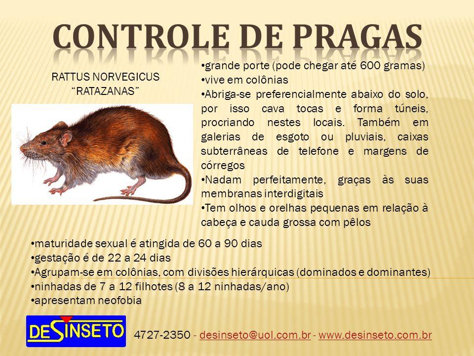 4727-2350 - desinseto@uol.com.br - www.desinseto.com.brdesinseto@uol.com.brwww.desinseto.com.br RATTUS NORVEGICUS RATAZANAS grande porte (pode chegar