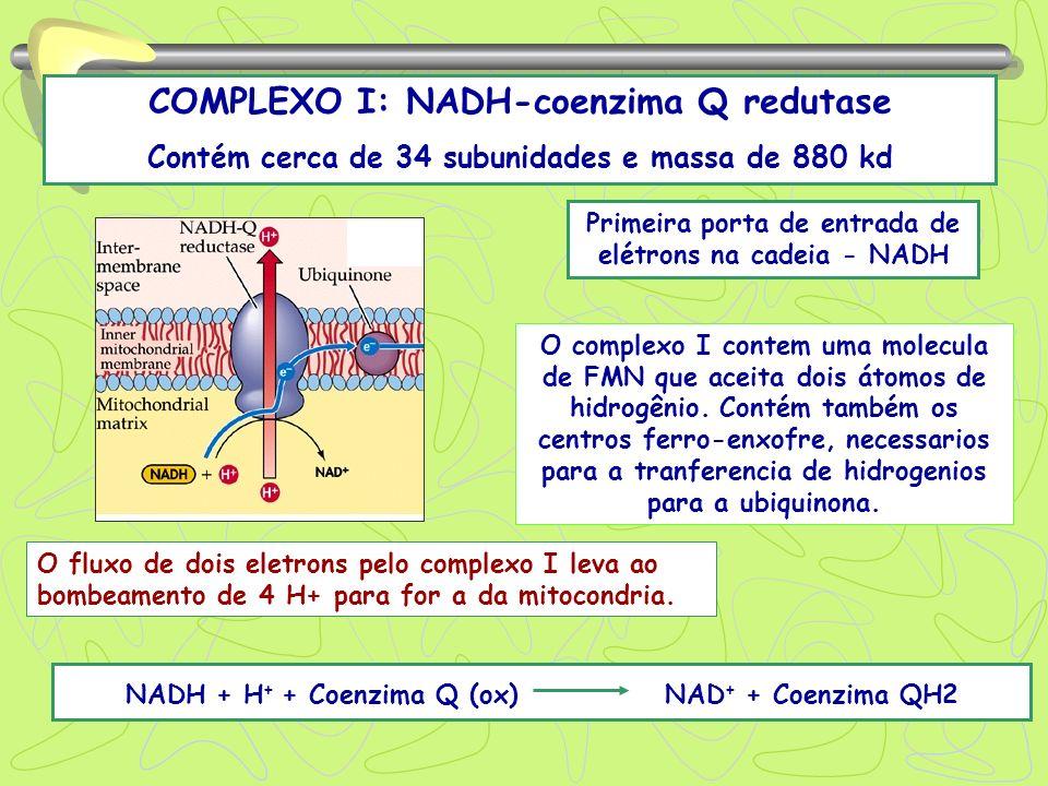 COMPLEXO I: NADH-coenzima Q redutase Contém cerca de 34 subunidades e massa de 880 kd NADH + H + + Coenzima Q (ox) NAD + + Coenzima QH2 Primeira porta