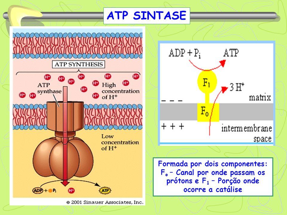 ATP SINTASE Formada por dois componentes: F o – Canal por onde passam os prótons e F 1 – Porção onde ocorre a catálise