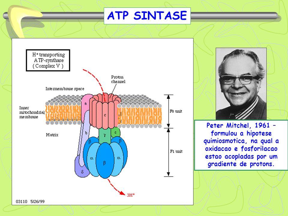 ATP SINTASE Peter Mitchel, 1961 – formulou a hipotese quimiosmotica, na qual a oxidacao e fosforilacao estao acopladas por um gradiente de protons.