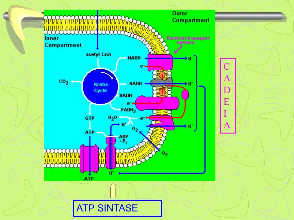 CADEIACADEIA ATP SINTASE