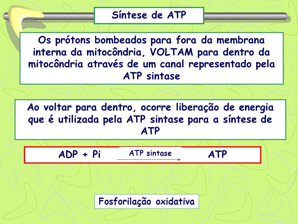 Síntese de ATP Os prótons bombeados para fora da membrana interna da mitocôndria, VOLTAM para dentro da mitocôndria através de um canal representado p