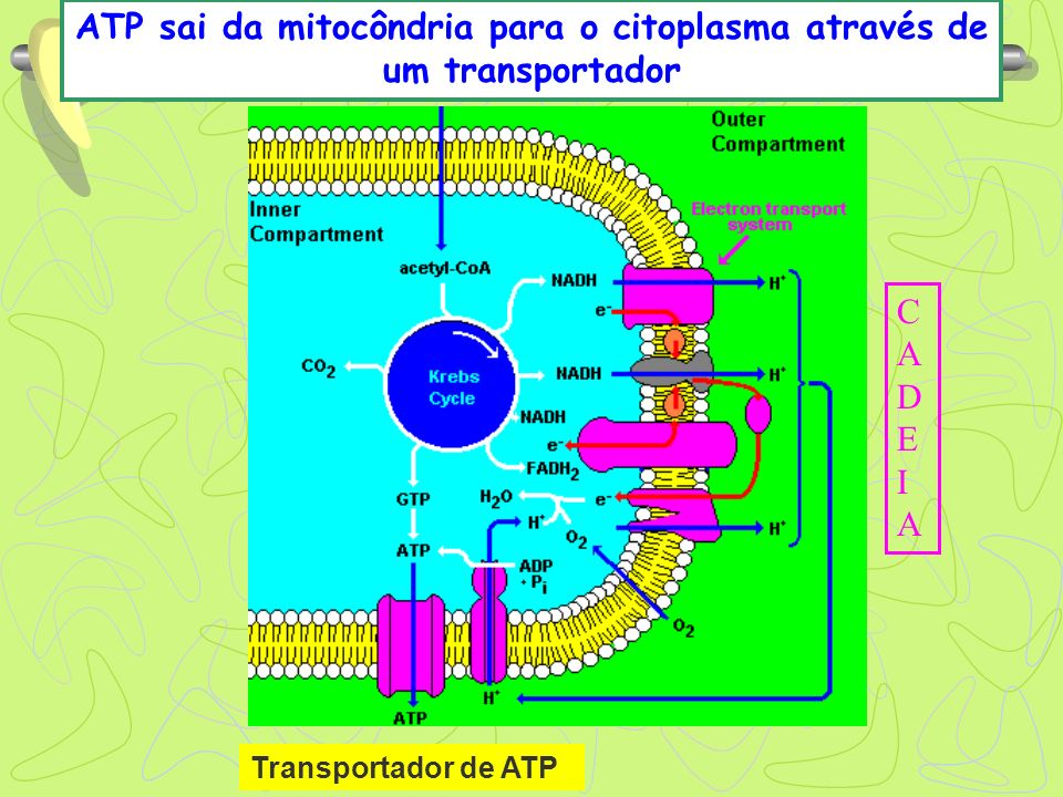 CADEIACADEIA ATP sai da mitocôndria para o citoplasma através de um transportador Transportador de ATP