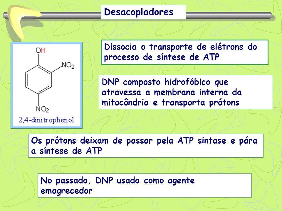 Desacopladores Dissocia o transporte de elétrons do processo de síntese de ATP DNP composto hidrofóbico que atravessa a membrana interna da mitocôndri