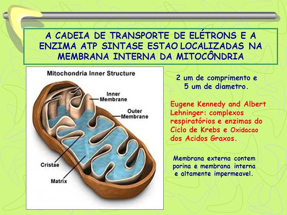 A CADEIA DE TRANSPORTE DE ELÉTRONS E A ENZIMA ATP SINTASE ESTAO LOCALIZADAS NA MEMBRANA INTERNA DA MITOCÔNDRIA 2 um de comprimento e 5 um de diametro.