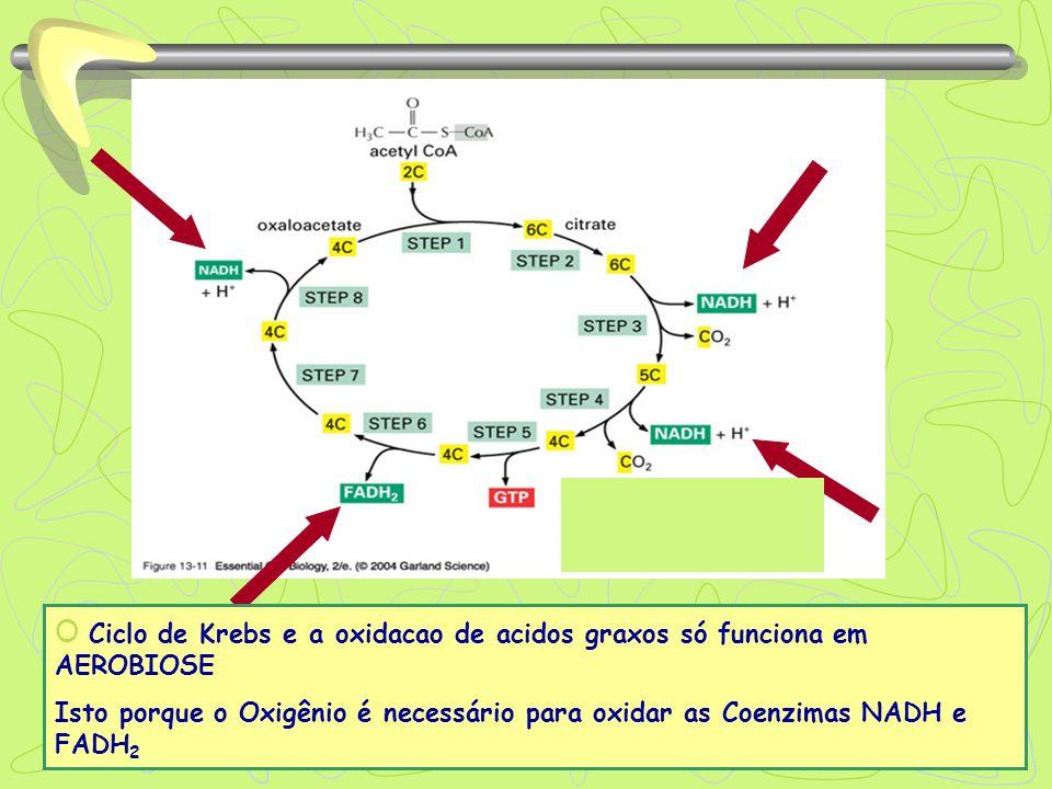 O Ciclo de Krebs e a oxidacao de acidos graxos só funciona em AEROBIOSE Isto porque o Oxigênio é necessário para oxidar as Coenzimas NADH e FADH 2