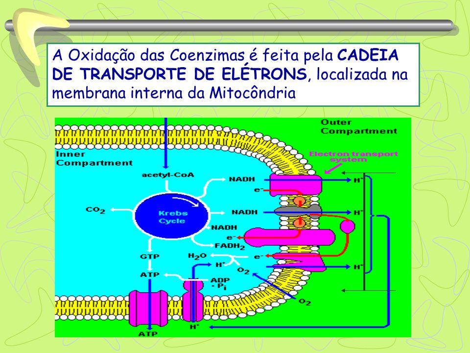 A Oxidação das Coenzimas é feita pela CADEIA DE TRANSPORTE DE ELÉTRONS, localizada na membrana interna da Mitocôndria