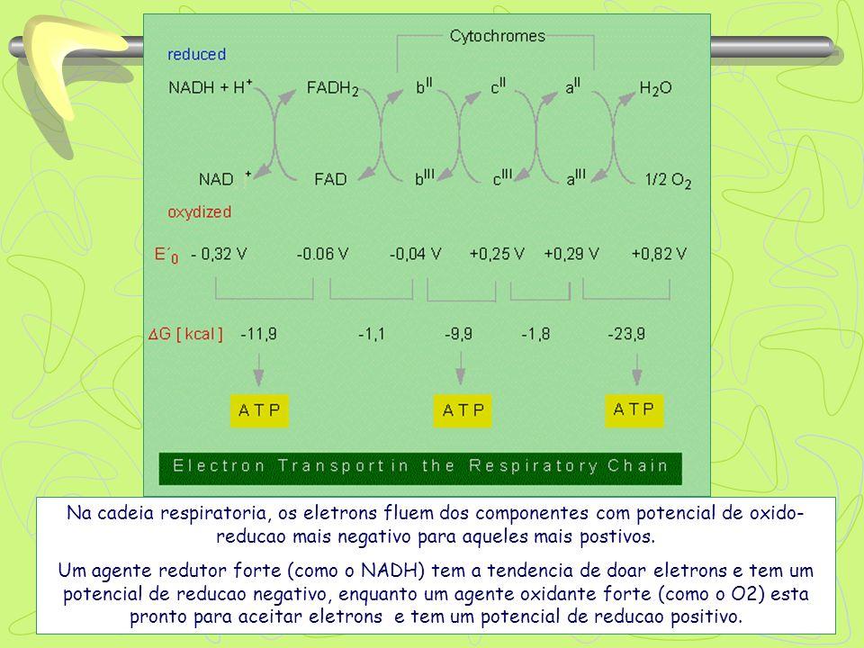 Na cadeia respiratoria, os eletrons fluem dos componentes com potencial de oxido- reducao mais negativo para aqueles mais postivos. Um agente redutor