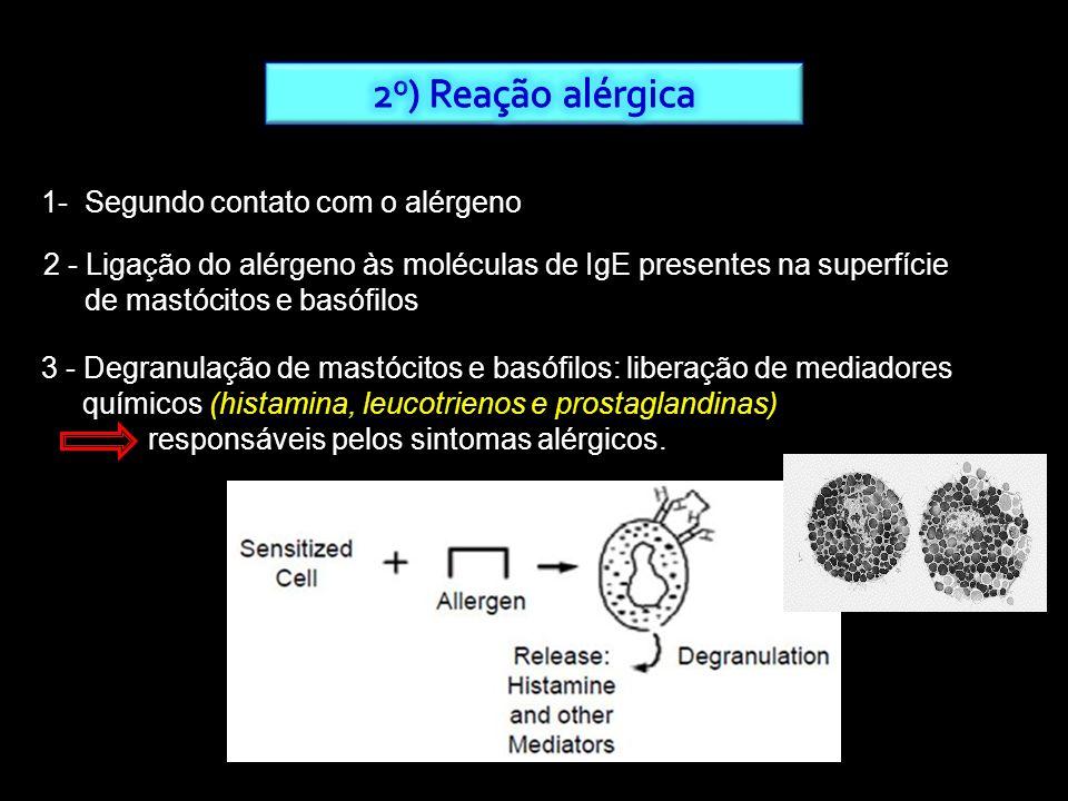 1- Segundo contato com o alérgeno 2 - Ligação do alérgeno às moléculas de IgE presentes na superfície de mastócitos e basófilos 3 - Degranulação de ma