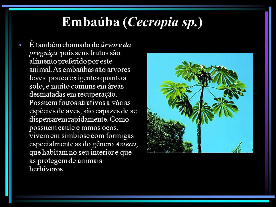 Embaúba (Cecropia sp.) É também chamada de árvore da preguiça, pois seus frutos são alimento preferido por este animal.As embaúbas são árvores leves,