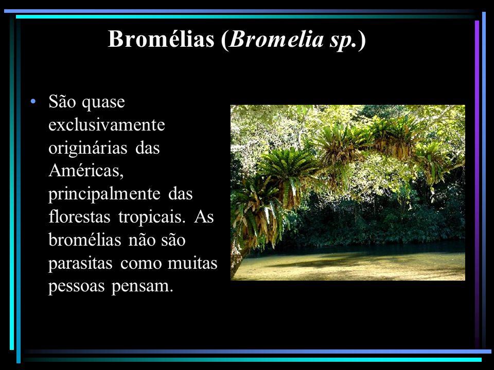 Bromélias (Bromelia sp.) São quase exclusivamente originárias das Américas, principalmente das florestas tropicais. As bromélias não são parasitas com