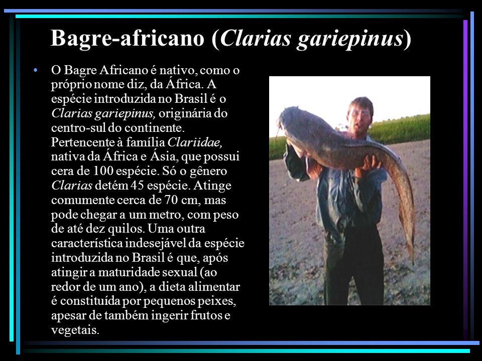 Bagre-africano (Clarias gariepinus) O Bagre Africano é nativo, como o próprio nome diz, da África. A espécie introduzida no Brasil é o Clarias gariepi