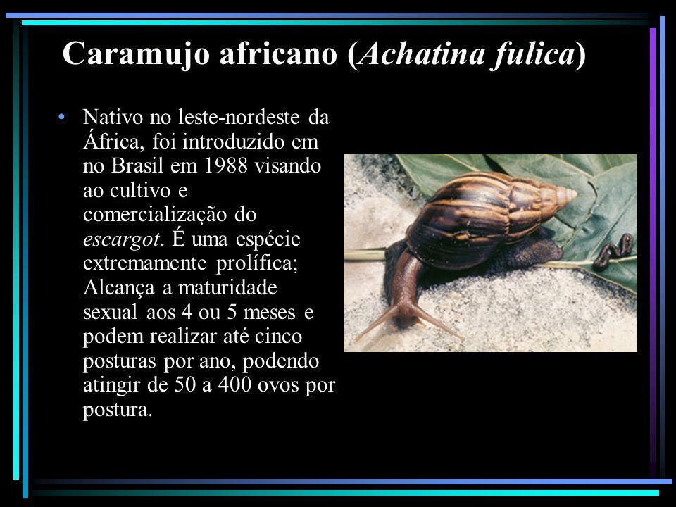 Caramujo africano (Achatina fulica) Nativo no leste-nordeste da África, foi introduzido em no Brasil em 1988 visando ao cultivo e comercialização do e
