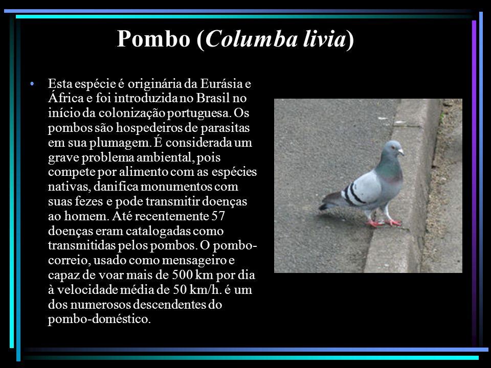 Pombo (Columba livia) Esta espécie é originária da Eurásia e África e foi introduzida no Brasil no início da colonização portuguesa. Os pombos são hos