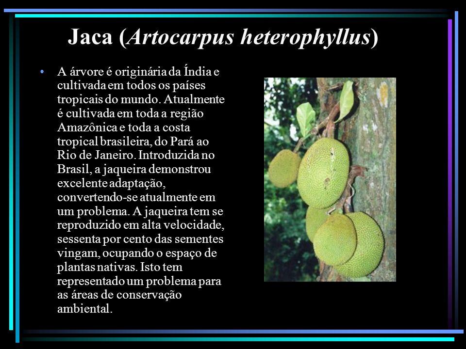 Jaca (Artocarpus heterophyllus) A árvore é originária da Índia e cultivada em todos os países tropicais do mundo. Atualmente é cultivada em toda a reg