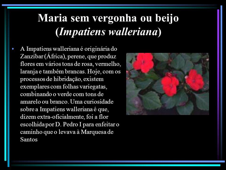 Maria sem vergonha ou beijo (Impatiens walleriana) A Impatiens walleriana é originária do Zanzibar (África), perene, que produz flores em vários tons