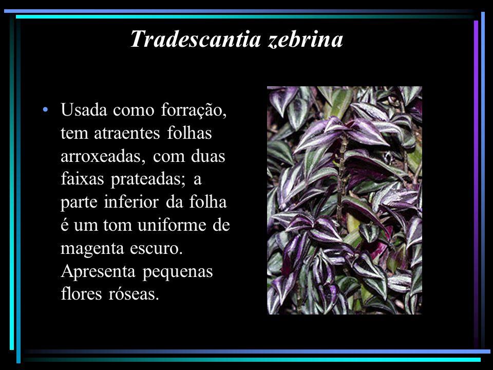 Tradescantia zebrina Usada como forração, tem atraentes folhas arroxeadas, com duas faixas prateadas; a parte inferior da folha é um tom uniforme de m