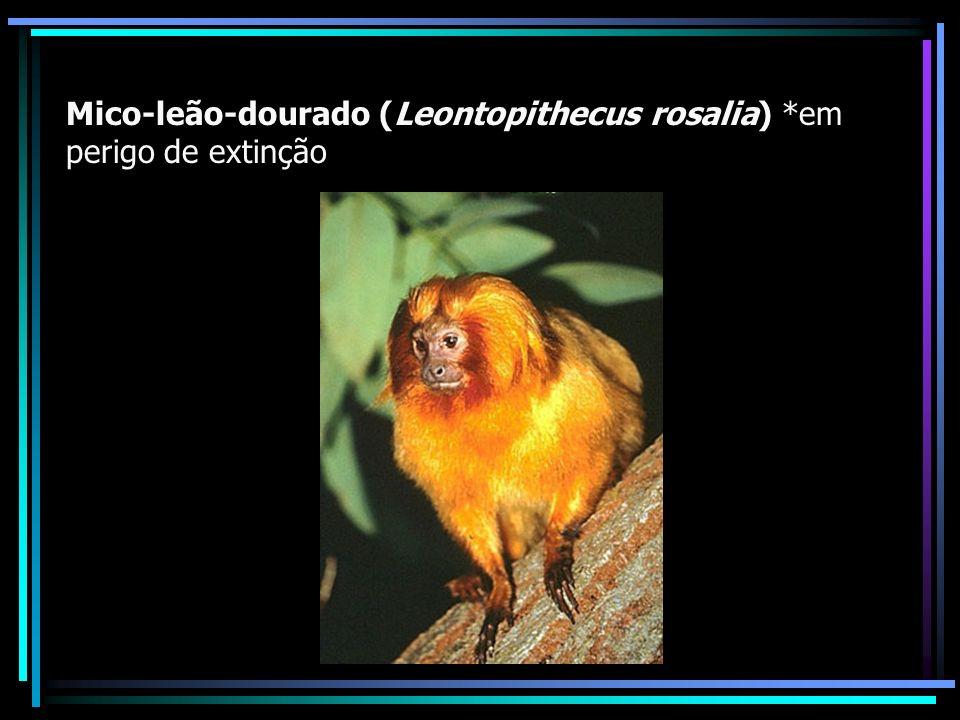 Mico-leão-dourado (Leontopithecus rosalia) *em perigo de extinção