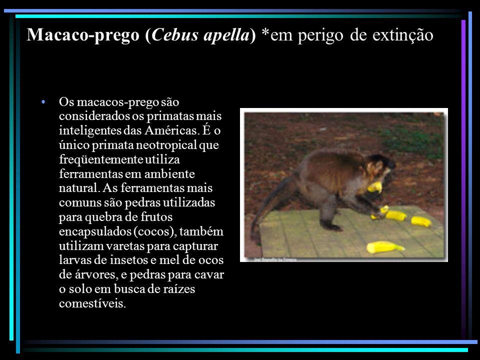 Macaco-prego (Cebus apella) *em perigo de extinção Os macacos-prego são considerados os primatas mais inteligentes das Américas. É o único primata neo