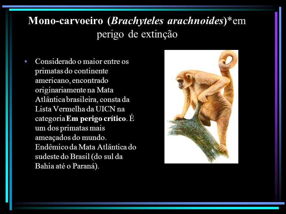 Mono-carvoeiro (Brachyteles arachnoides)*em perigo de extinção Considerado o maior entre os primatas do continente americano, encontrado originariamen