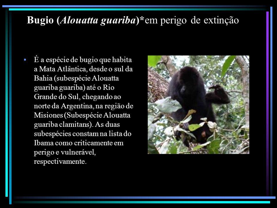 Bugio (Alouatta guariba)*em perigo de extinção É a espécie de bugio que habita a Mata Atlântica, desde o sul da Bahia (subespécie Alouatta guariba gua