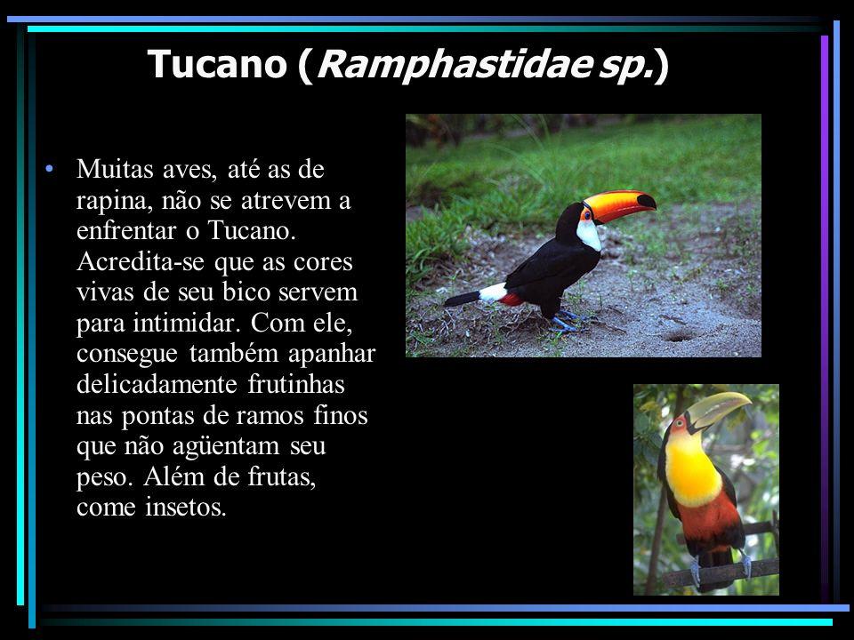 Tucano (Ramphastidae sp.) Muitas aves, até as de rapina, não se atrevem a enfrentar o Tucano. Acredita-se que as cores vivas de seu bico servem para i
