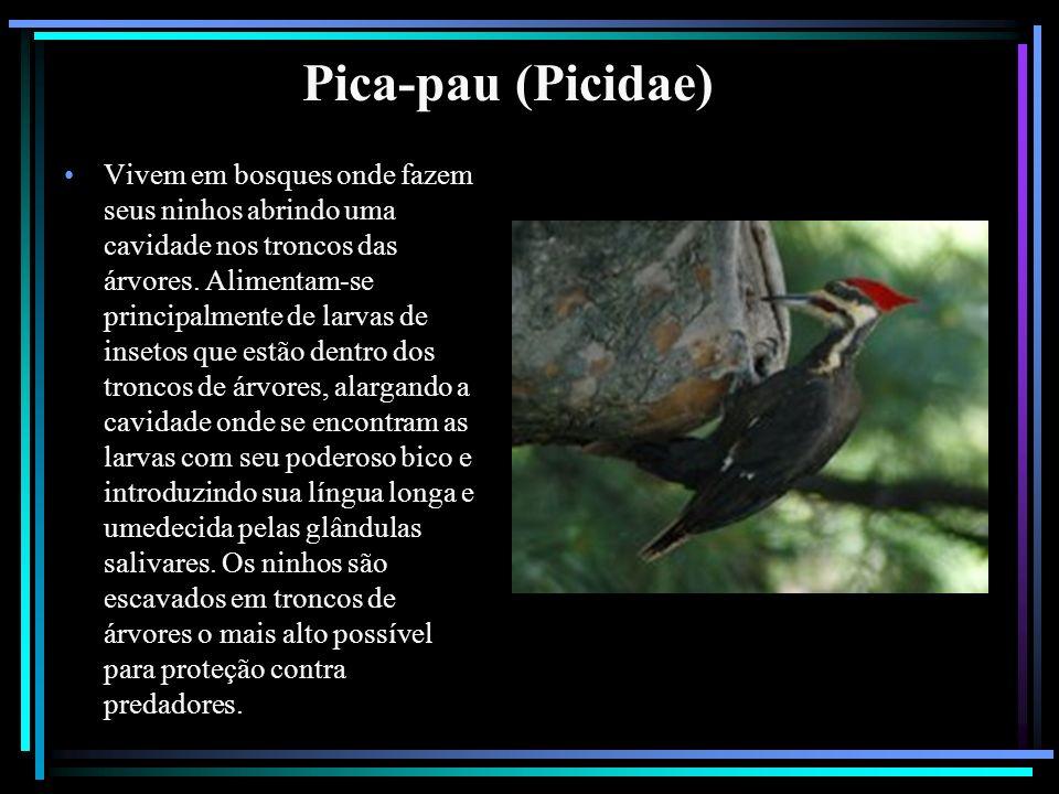 Pica-pau (Picidae) Vivem em bosques onde fazem seus ninhos abrindo uma cavidade nos troncos das árvores. Alimentam-se principalmente de larvas de inse