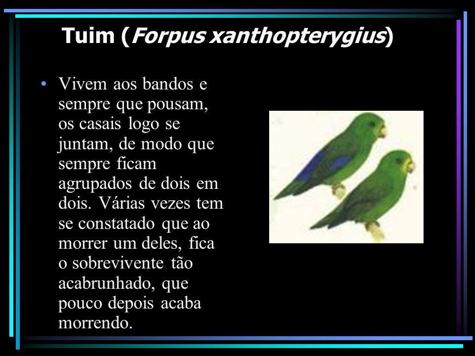 Tuim (Forpus xanthopterygius) Vivem aos bandos e sempre que pousam, os casais logo se juntam, de modo que sempre ficam agrupados de dois em dois. Vári