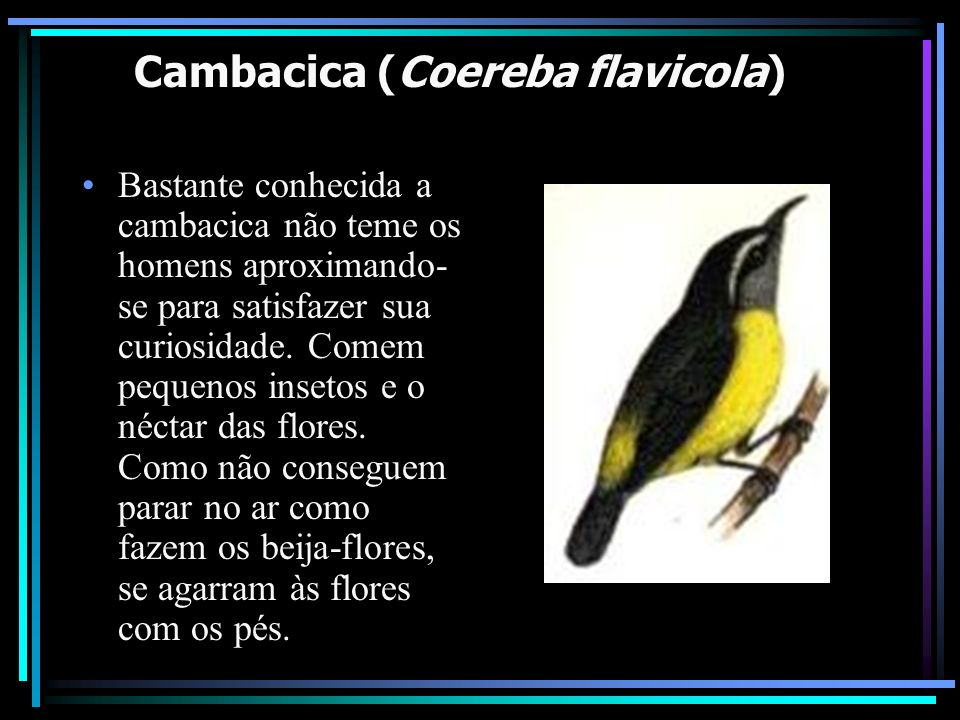 Cambacica (Coereba flavicola) Bastante conhecida a cambacica não teme os homens aproximando- se para satisfazer sua curiosidade. Comem pequenos inseto