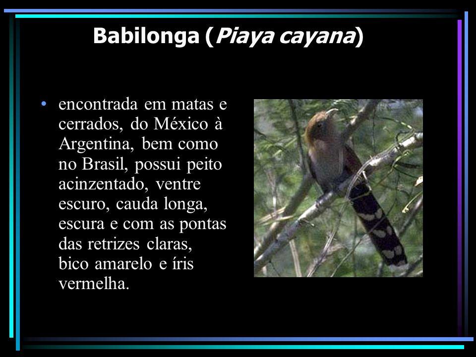 Babilonga (Piaya cayana) encontrada em matas e cerrados, do México à Argentina, bem como no Brasil, possui peito acinzentado, ventre escuro, cauda lon