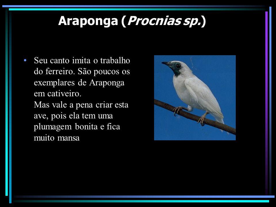 Araponga (Procnias sp.) Seu canto imita o trabalho do ferreiro. São poucos os exemplares de Araponga em cativeiro. Mas vale a pena criar esta ave, poi