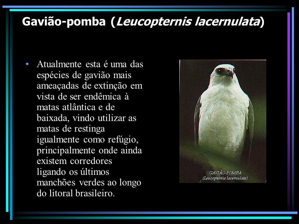 Gavião-pomba (Leucopternis lacernulata) *em perigo de extinção Atualmente esta é uma das espécies de gavião mais ameaçadas de extinção em vista de ser