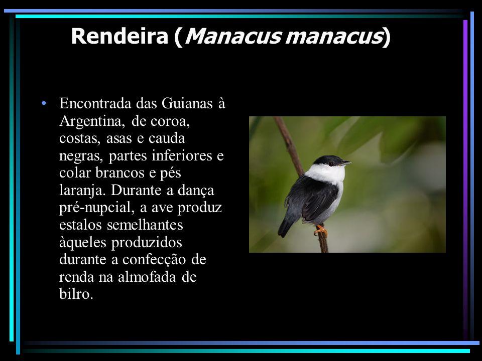 Rendeira (Manacus manacus) Encontrada das Guianas à Argentina, de coroa, costas, asas e cauda negras, partes inferiores e colar brancos e pés laranja.