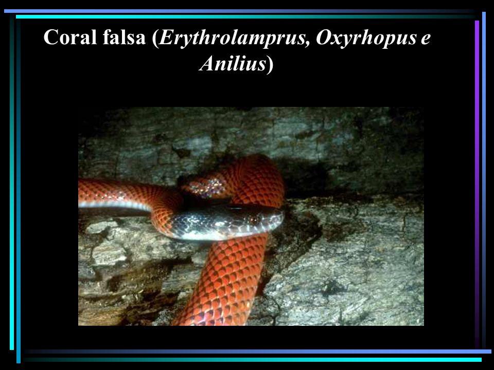 Coral falsa (Erythrolamprus, Oxyrhopus e Anilius)
