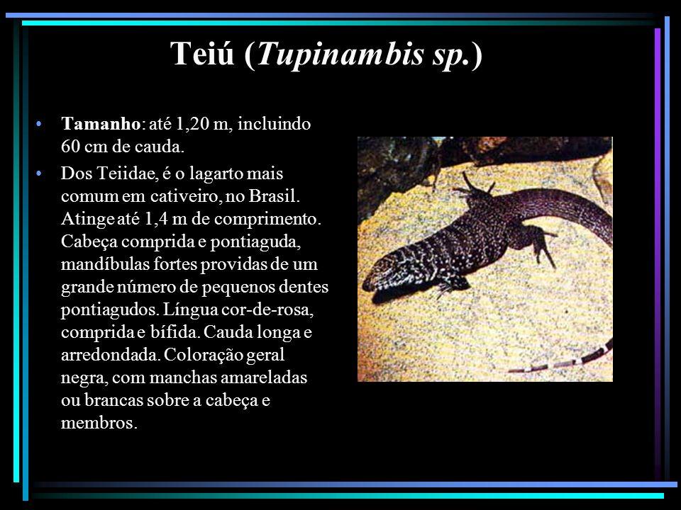 Teiú (Tupinambis sp.) Tamanho: até 1,20 m, incluindo 60 cm de cauda. Dos Teiidae, é o lagarto mais comum em cativeiro, no Brasil. Atinge até 1,4 m de