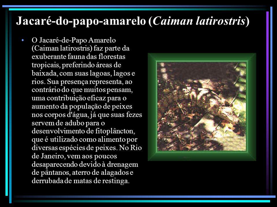 Jacaré-do-papo-amarelo (Caiman latirostris) O Jacaré-de-Papo Amarelo (Caiman latirostris) faz parte da exuberante fauna das florestas tropicais, prefe