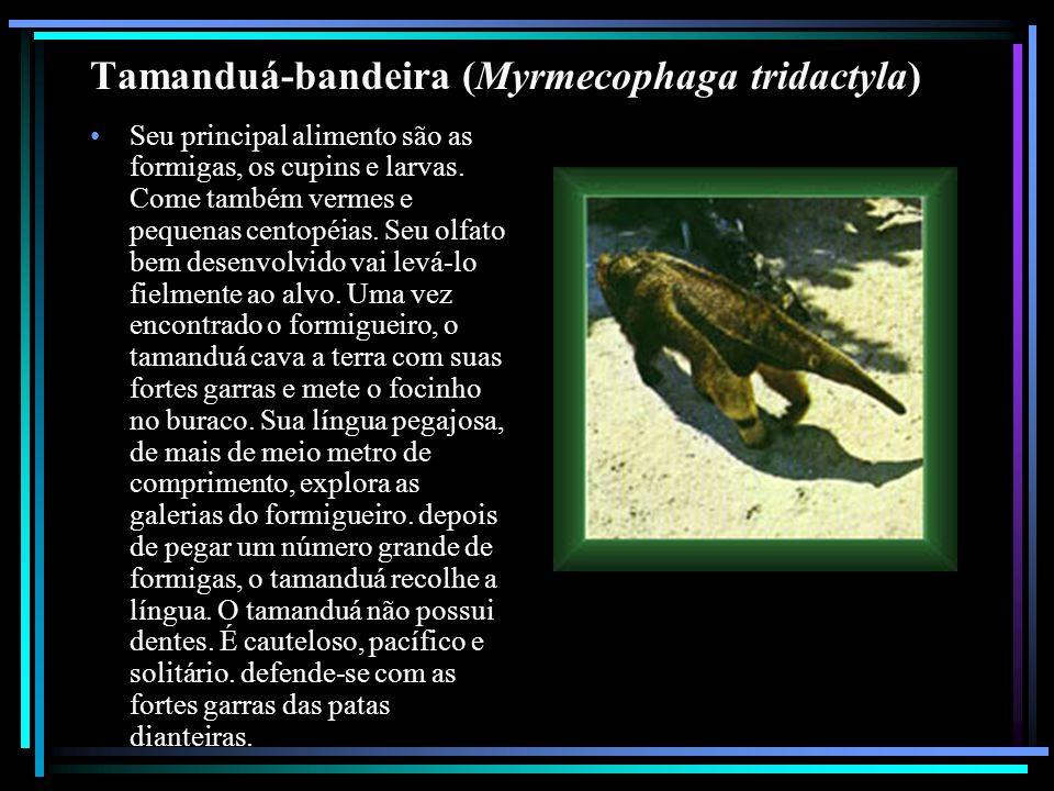 Tamanduá-bandeira (Myrmecophaga tridactyla) Seu principal alimento são as formigas, os cupins e larvas. Come também vermes e pequenas centopéias. Seu