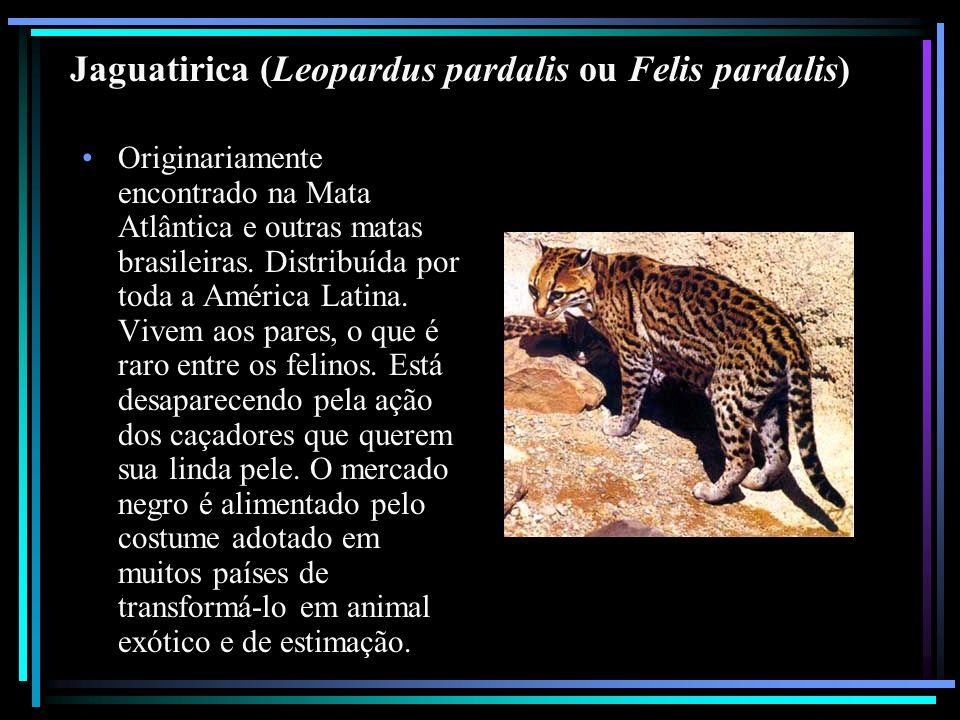 Jaguatirica (Leopardus pardalis ou Felis pardalis) Originariamente encontrado na Mata Atlântica e outras matas brasileiras. Distribuída por toda a Amé