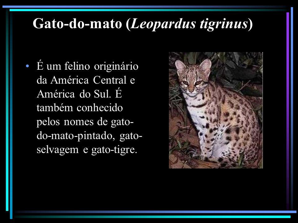 Gato-do-mato (Leopardus tigrinus) É um felino originário da América Central e América do Sul. É também conhecido pelos nomes de gato- do-mato-pintado,