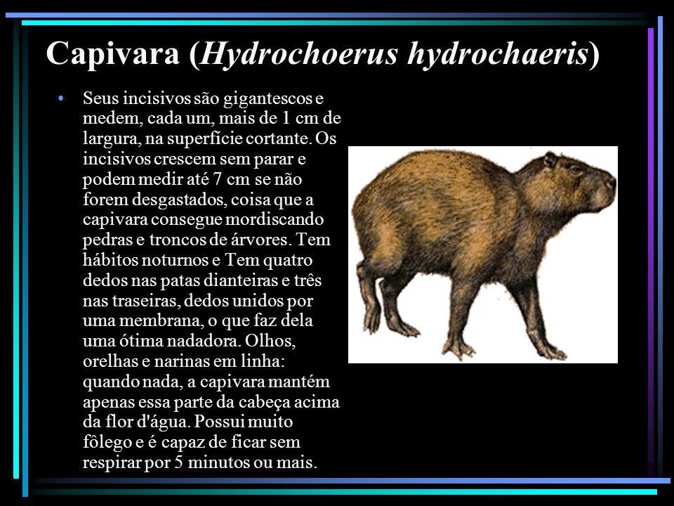 Capivara (Hydrochoerus hydrochaeris) Seus incisivos são gigantescos e medem, cada um, mais de 1 cm de largura, na superfície cortante. Os incisivos cr