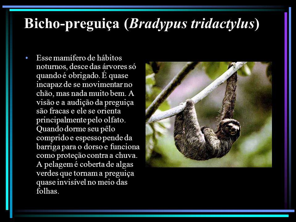 Bicho-preguiça (Bradypus tridactylus) Esse mamífero de hábitos noturnos, desce das árvores só quando é obrigado. É quase incapaz de se movimentar no c
