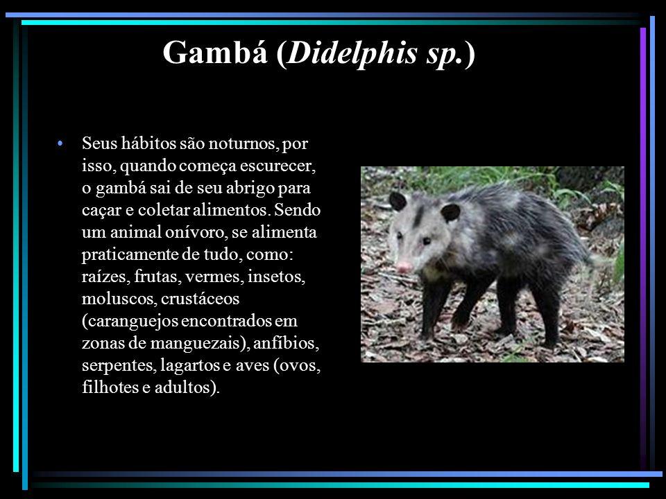 Gambá (Didelphis sp.) Seus hábitos são noturnos, por isso, quando começa escurecer, o gambá sai de seu abrigo para caçar e coletar alimentos. Sendo um