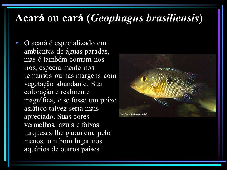 Acará ou cará (Geophagus brasiliensis) O acará é especializado em ambientes de águas paradas, mas é também comum nos rios, especialmente nos remansos