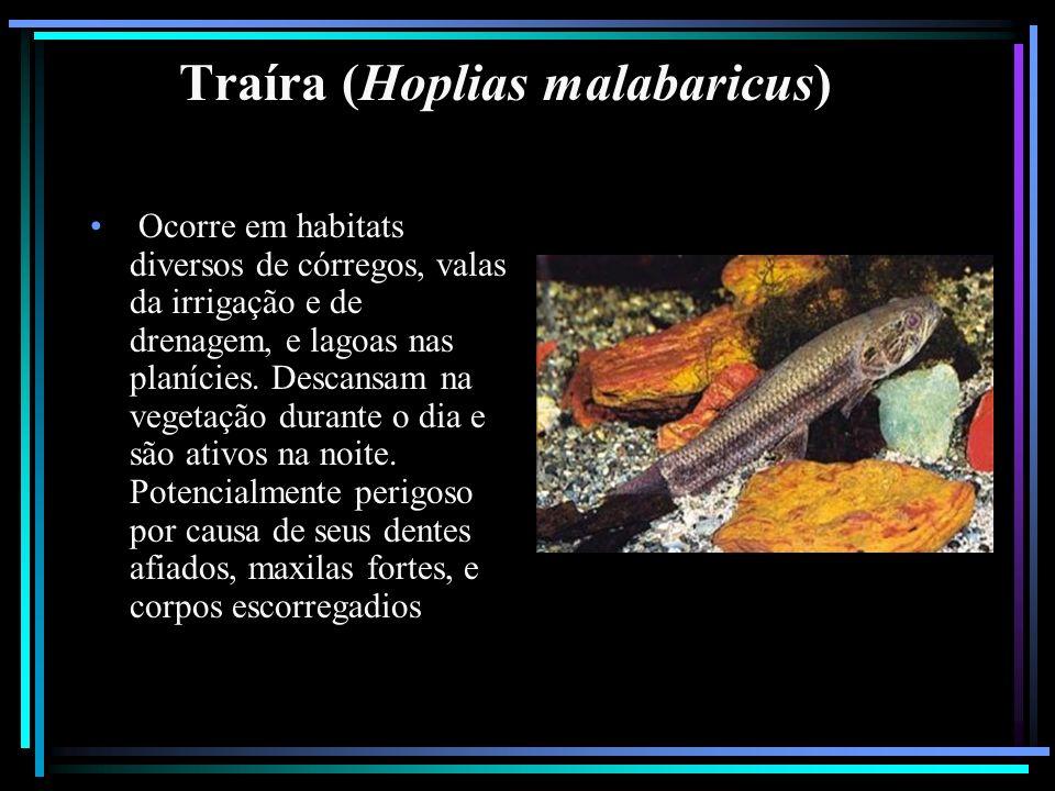 Traíra (Hoplias malabaricus) Ocorre em habitats diversos de córregos, valas da irrigação e de drenagem, e lagoas nas planícies. Descansam na vegetação