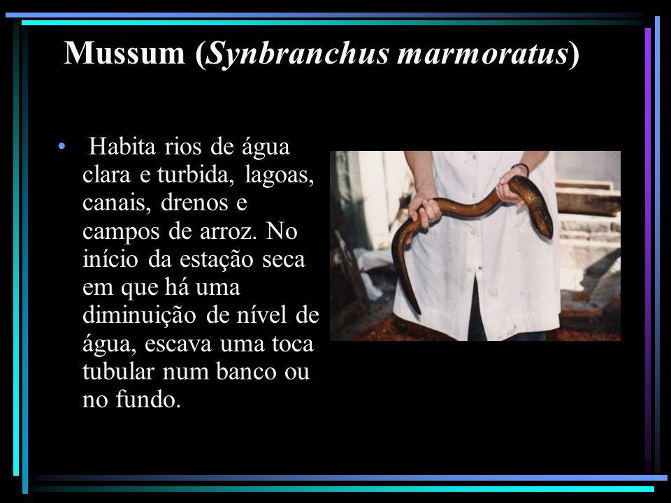 Mussum (Synbranchus marmoratus) Habita rios de água clara e turbida, lagoas, canais, drenos e campos de arroz. No início da estação seca em que há uma